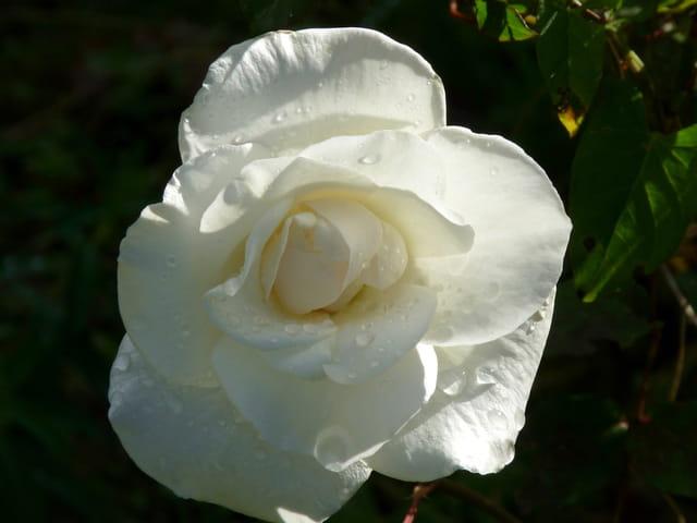 Rose blanche après l'averse