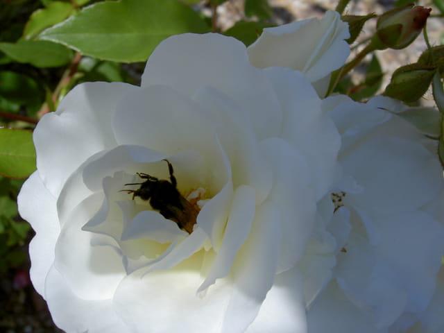 Rose blanche avec insecte à l' interieur