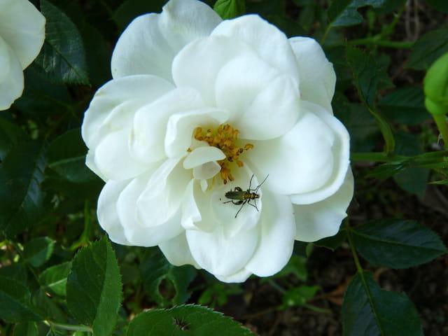 Rose blanche et son insecte