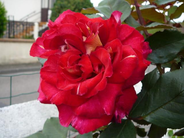 """Rose """"Bolchoï"""" dans toute sa beauté"""