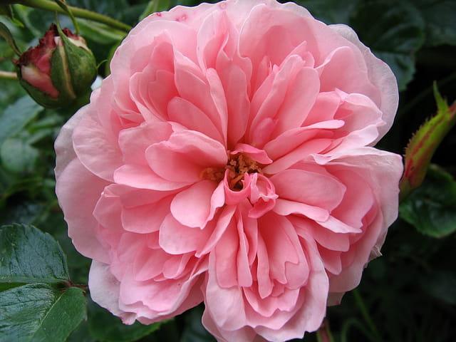 "Rose""Bossa Nova"""