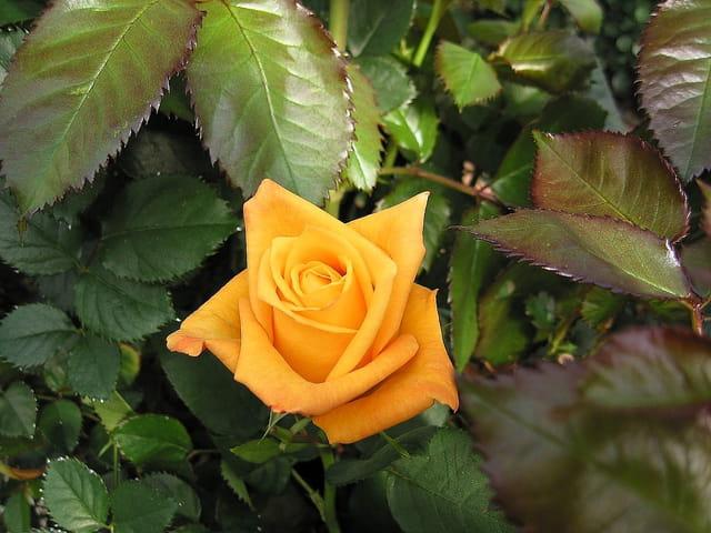 Rose célèbre  (rose d'or)