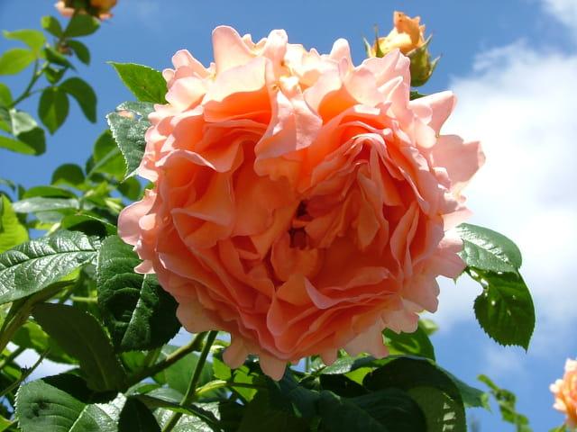 Rose chiffonnée