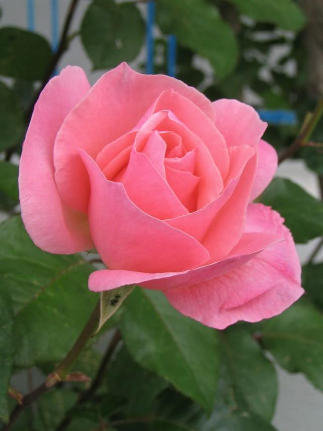 Rose crétoise
