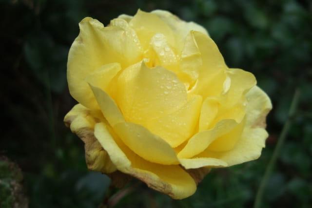 Rose de février