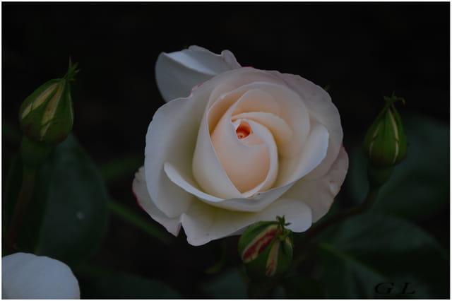 Rose de mon jardin