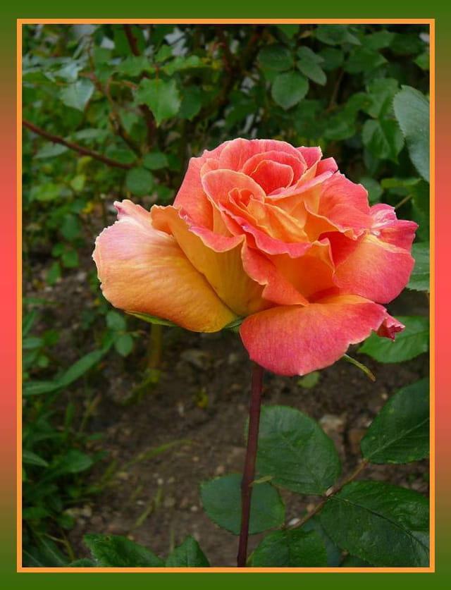 """Rose de mon jardin """"Mme Dieudonné"""""""