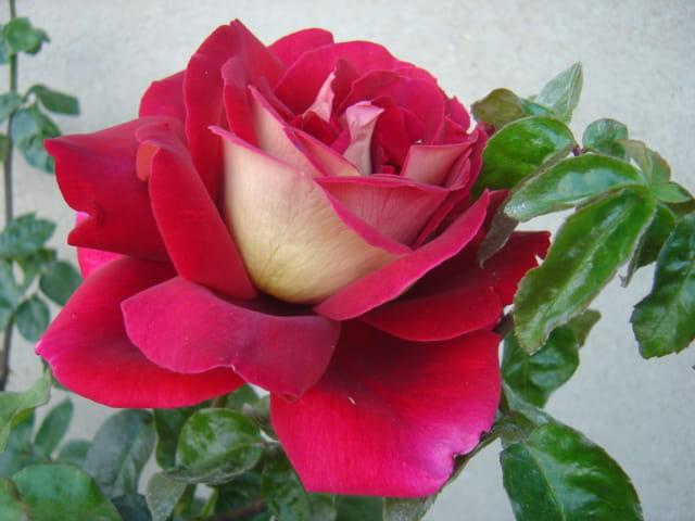 Rose de septembre par sonia cungs sur l 39 internaute - Semer roses tremieres septembre ...