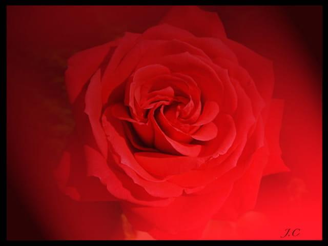 rose de st valentin par josiane chevalier sur l 39 internaute. Black Bedroom Furniture Sets. Home Design Ideas