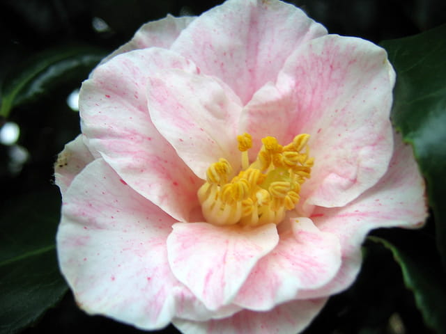 Rose délicat