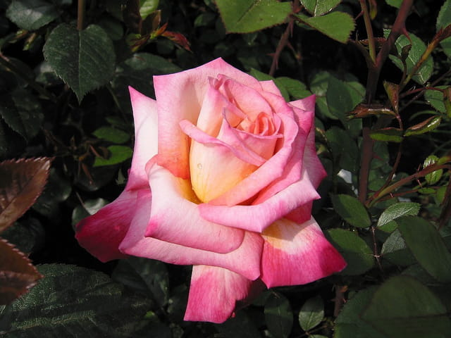 Rose (douceur normande)