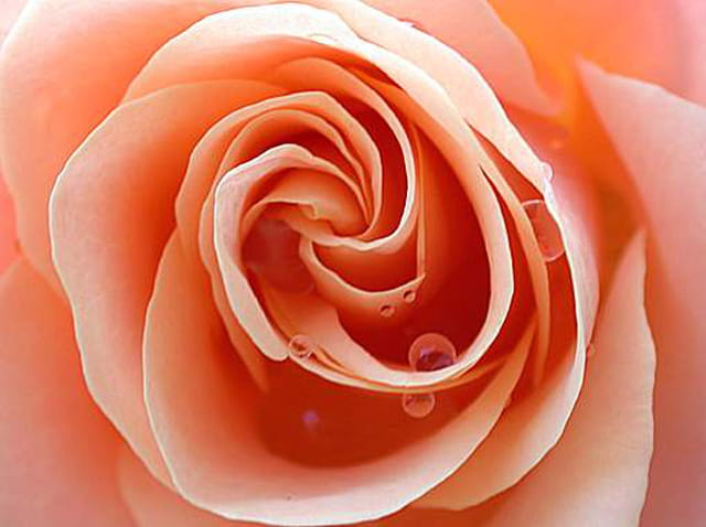Rose du matin