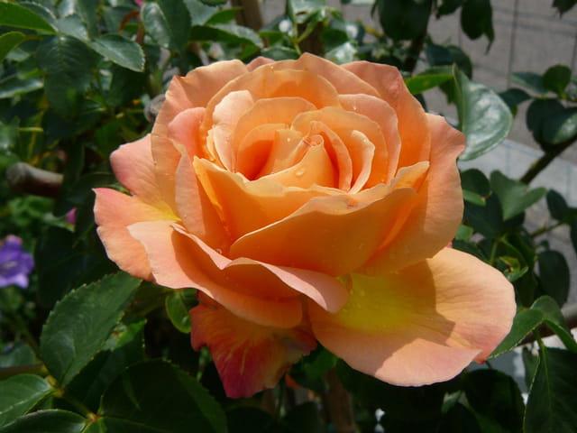 rose du rosier tige par jacqueline dubois sur l 39 internaute. Black Bedroom Furniture Sets. Home Design Ideas