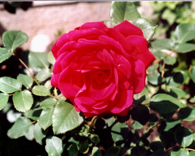 Rose en rouge