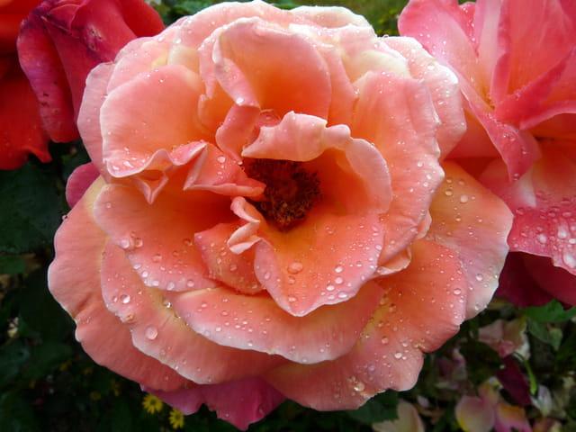 Rose épanouie après l'averse