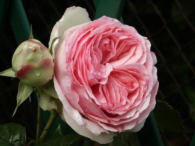Rose humide