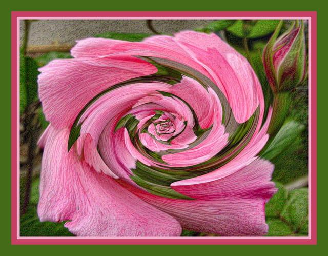 Rose immortalisée