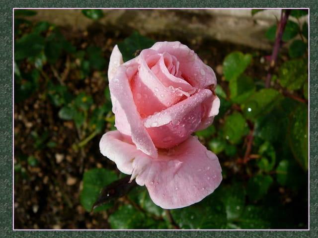 Rose inconnue de mon jardin d'un joli rose