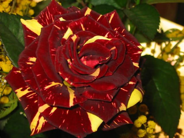 Rose-Jaune de l'amour