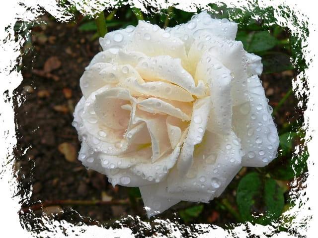 """Rose """"Passaya"""" sous la pluie"""