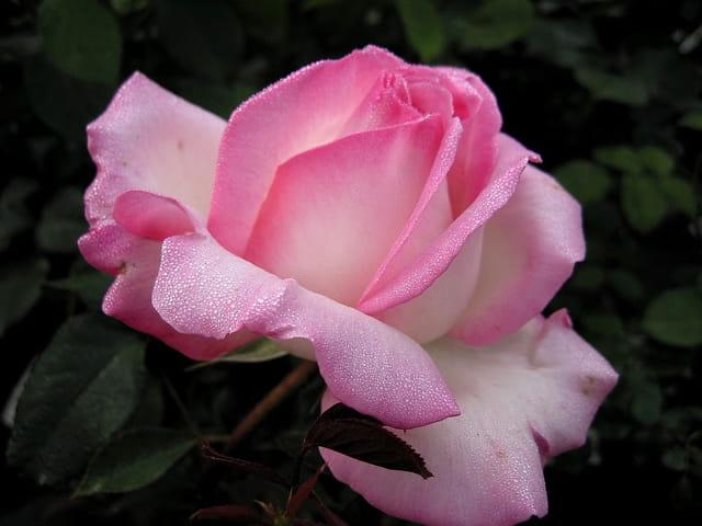 Rose (princesse de monaco)