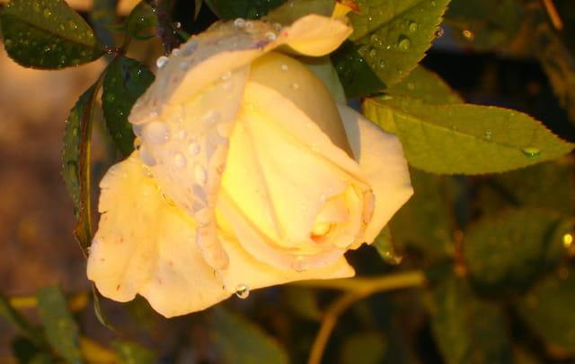 Rose ronsard sous la pluie