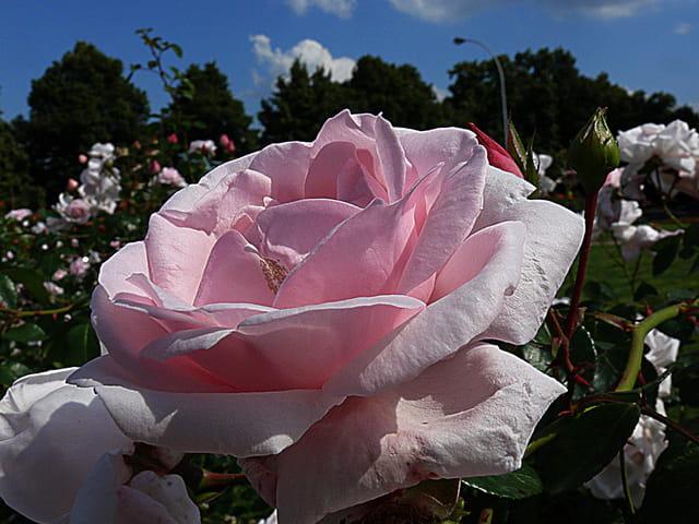 Rose rose