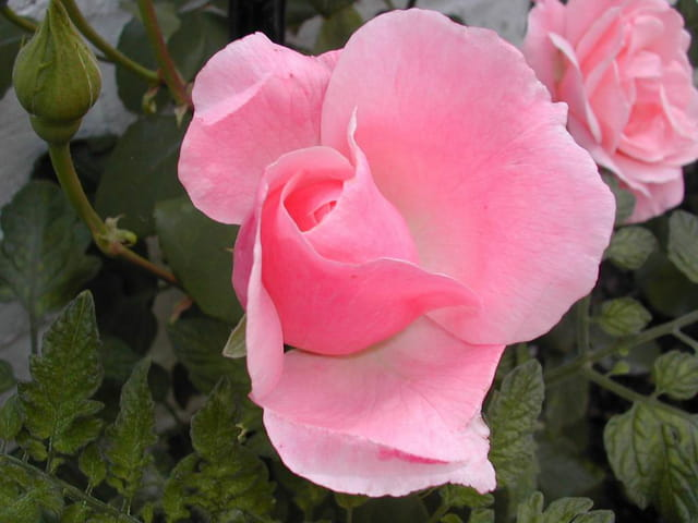 Rose rose du nord