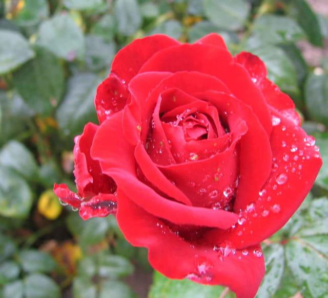 Rose rouge aprés la pluie
