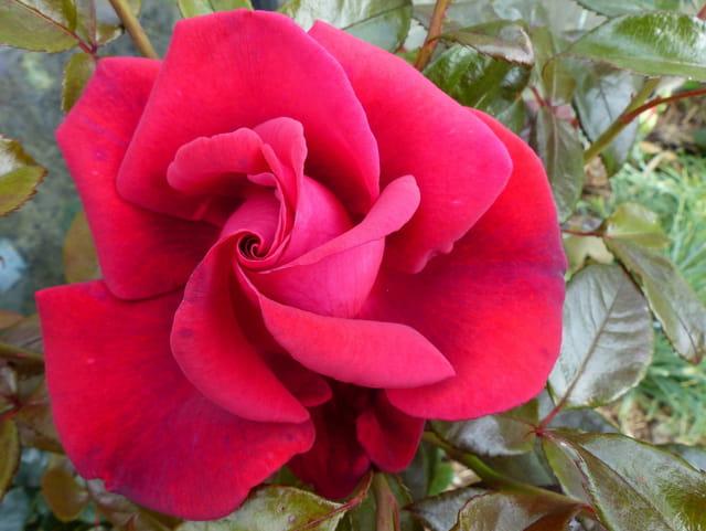 rose-rouge-du-jardin-1497298326-1690780
