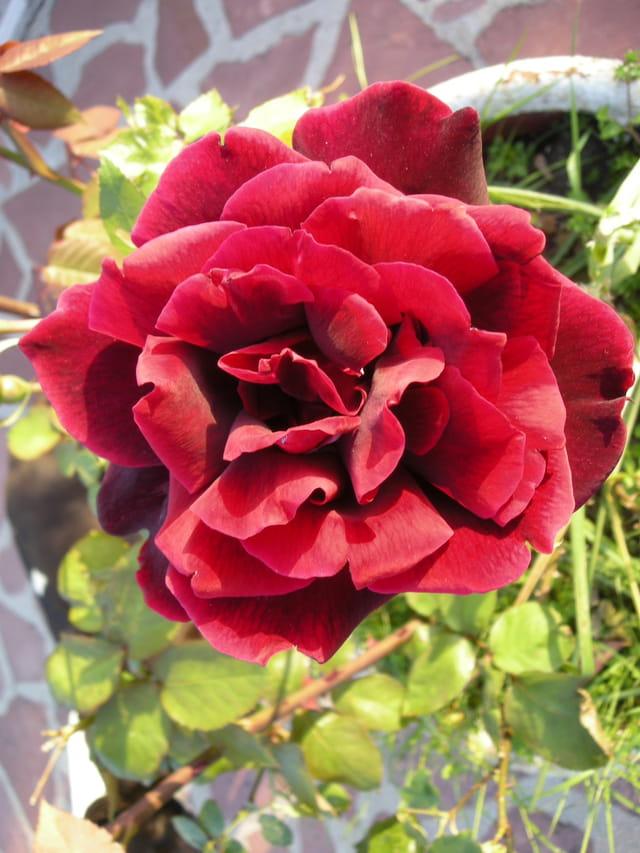 Rose rouge intense