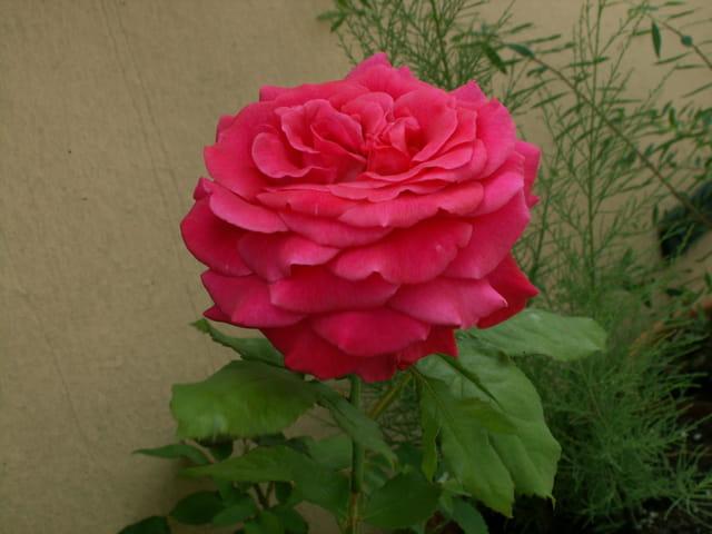 Rose rouge ou rose ?