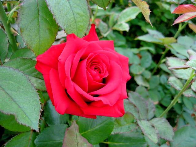 Rose rouge sur un lit vert