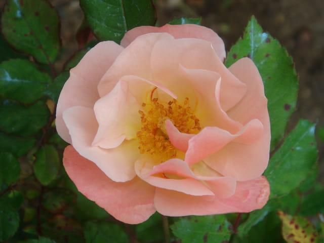 Rose sauvage ou églantine?