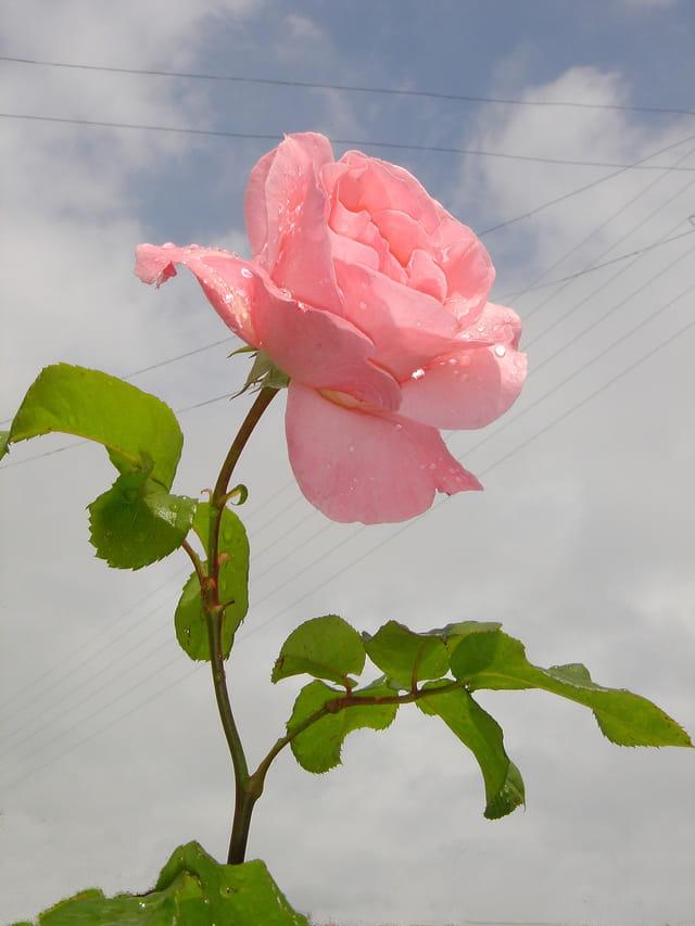 Rose sur ciel