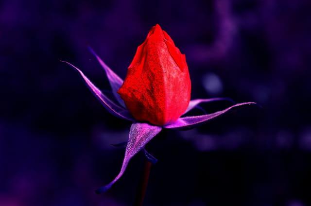 Rose surréaliste