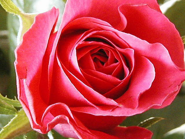 Rose tendre