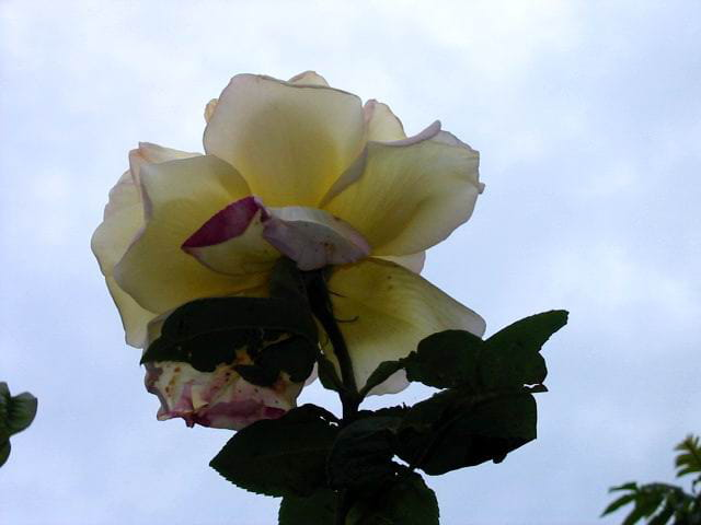 Rose - transparence