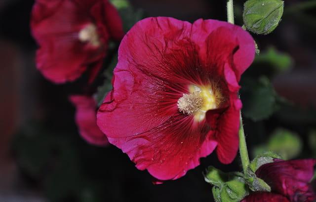 Rose trémiére