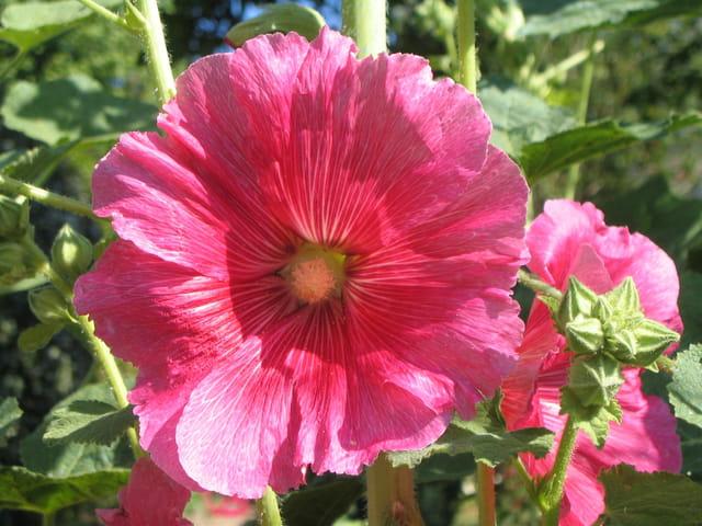 Rose tremiere rose