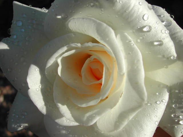 Rosée sur la rose