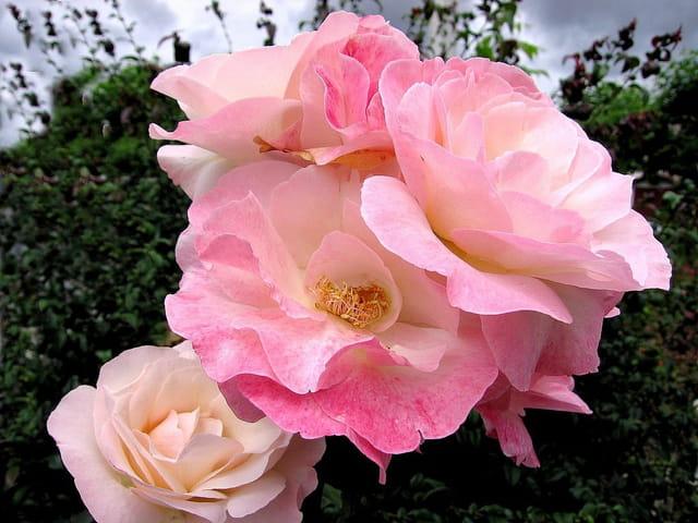 Roses à Espelette