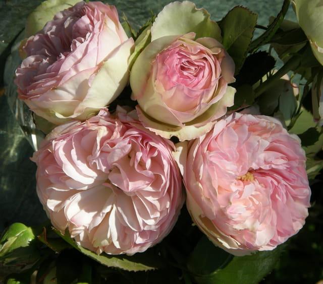 Roses aux mille pétales