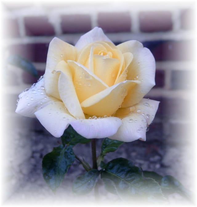 Roses avec gouttes de rosée