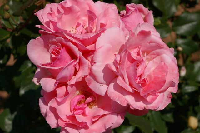 Roses d'ussac