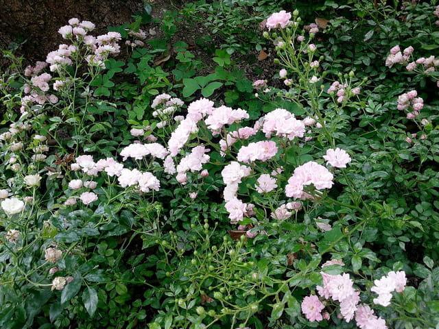 Roses de la Roseraie (1)
