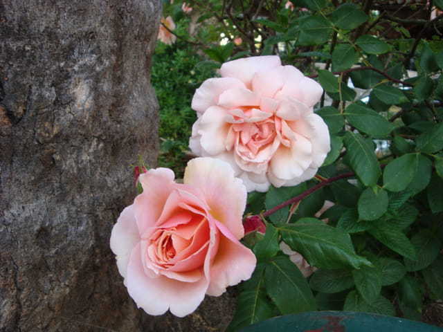 Roses de Vence