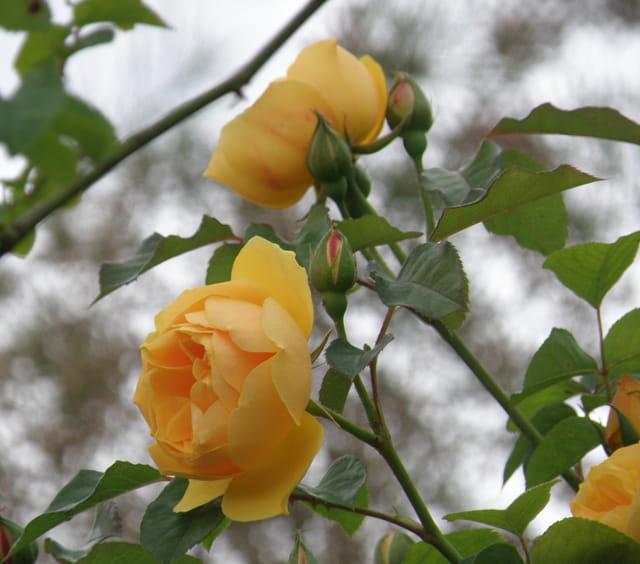 Roses jaunes sur fond de ciel nuageux