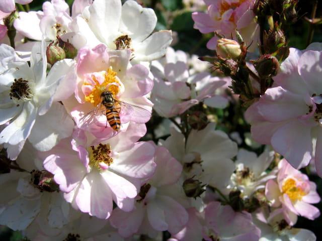 Roses miniatures