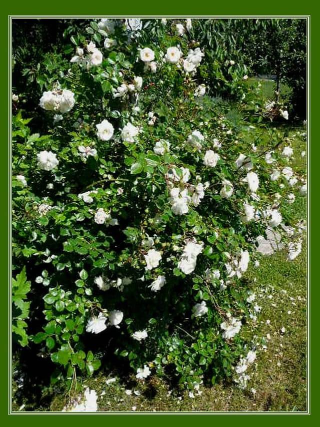 Rosier grimpant blanc en pleine floraison